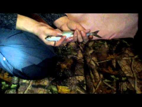 рыбалка в челябинской области увильды сиг рипус