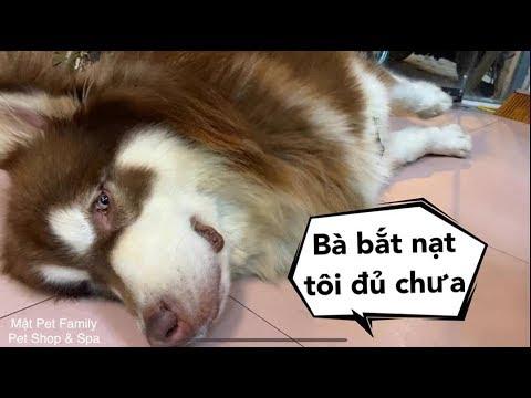 Chó Mật giả chết đòi bỏ nhà ra đi vì quá tức khi bị chủ bắt nạt - Mật Pet Family - Thời lượng: 7 phút, 46 giây.