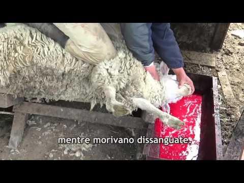 L'orrore nascosto dietro la «lana italiana»