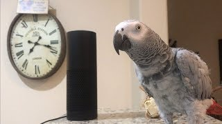 Video Smartest most conversational parrot ever. Petra the home automation expert, african grey MP3, 3GP, MP4, WEBM, AVI, FLV Juli 2019