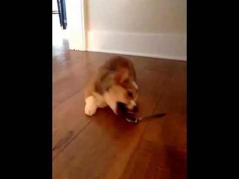 cucciolo-di-corgi-contro-cucchiaio-115