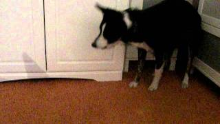 border collie barking mad at floor!