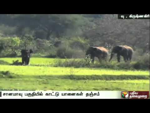 Forest-department-warns-residents-about-5-Wild-Elephants-having-taken-refuge-at-Sanamavu-forest-area