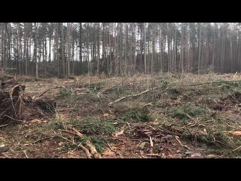 Wideo1: Leśnicy walczą z kornikiem