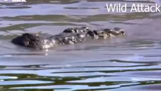 The giant crocodile attacks the lion in the jungle - the animal world - the best attack 2017