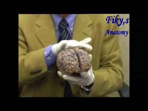 fiky anatomy - neuroanatomy 2014