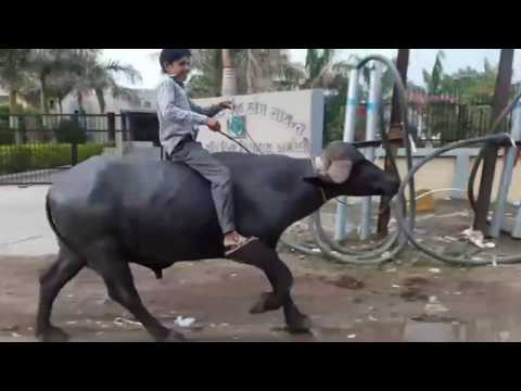 Video Jignesh Kaviraj - Hath Ma Chhe Whisky (VIDEO)| Bewafa Sanam Funny Edition download in MP3, 3GP, MP4, WEBM, AVI, FLV January 2017
