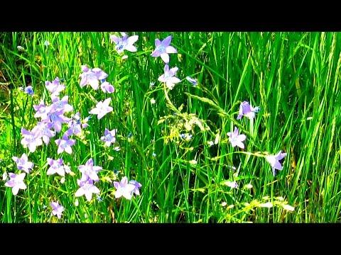 Красота Природы - Летний луг Цветы Луговые  Природа Релакс