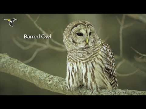 The Distinctive Calls Of Owls: A Sampler