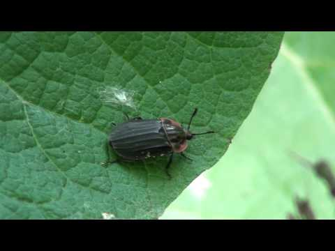 Margined Carrion Beetle (Silphidae: Oiceoptoma novaboracense) on Leaf