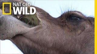 Camels Don't Mind Spines In Their Cacti | Nat Geo Wild by Nat Geo WILD