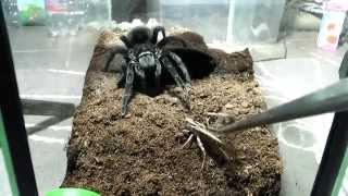 Video Tarantula feeding video 3 MP3, 3GP, MP4, WEBM, AVI, FLV Januari 2019