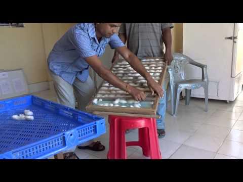 Eri silkworm improved Mountage (видео)