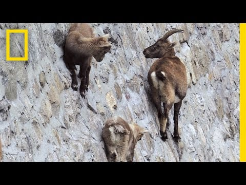 Amazing Footage: Goats Climbing on a Near-Vertical Dam | National Geographic (видео)