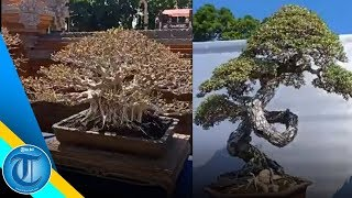 Download Video Pameran & Kontes Bonsai Nasional 2019 | Hut Kota Gianyar Ke-248 MP3 3GP MP4