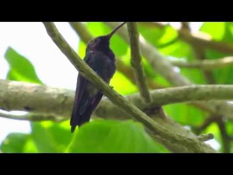 endemic, Sapphire-bellied hummingbird, Lepidopyga lilliae, Parque Isla Salamanca