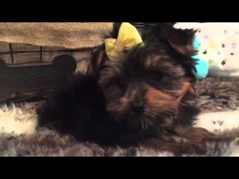 BEAUTIFUL YORKSHIRE TERRIER FEMALE PUPPY!