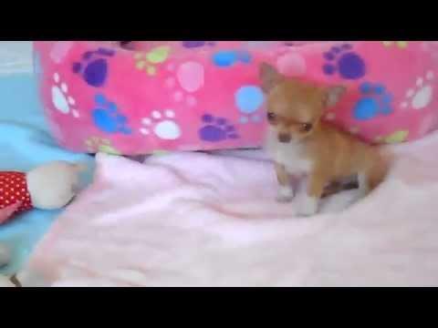 chiot chihuahua miniature