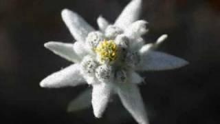 Bunga Edelweiss - Thomas Arya  (lirik) Video