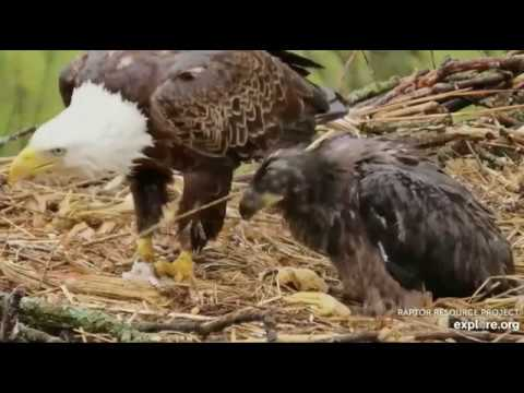 Decorah North Eagles,Floppy Fish & Wad Of Grass/Hay 5/16/19