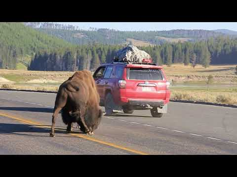 Incredible Yellowstone Bison Battle on the Road