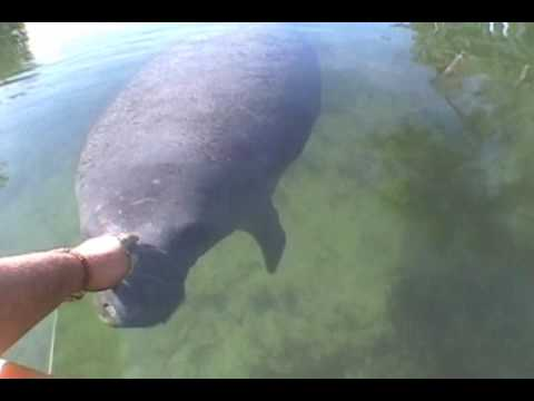 Manatee Adventure in a Kayak at 3 Sister Springs of Crystal River