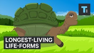 What is the true longest-living life-form? Tortoises, whales, and trees are all likely to be the winners. However, some microscopic species are the answer for this. They have been alive since before humans even existed — that's more than 200,000 years ago. Following is a transcript of the video.If you think living to 100 is impressive, think again.Here's a glimpse at some of the longest-living life-forms on Earth:The average human lives for 71 years, but the oldest on official record — Jeanne Louise Calment — survived to see her 122nd birthday.Humans don't even come close to the Galapagos giant tortoise. One of the oldest on record, named Jonathan, is still going strong at 184 years old.Believed to have hatched around 1832, Jonathan the tortoise was around when Andrew Jackson was still president of the United States.But tortoise Jonathan's impressive run is nothing compared to what we find under the sea.Swimming in the frigid Arctic waters is the longest-living mammal on Earth: the bowhead whale, which can survive for over 200 years.Next, is the oldest vertebrate on record, a Greenland shark estimated to be around 400 years old.This shark was alive around the same time Italian astronomer Galileo Galilei was launching a scientific revolution.Turning now to invertebrates, we have the edible clam, the ocean quahog. The oldest ocean quahog clam was found to be 507 years old. Around 500 years ago, Michelangelo finished the Sistine Chapel.And for even more perspective, Christopher Columbus reached the Americas not long before that. Think about that the next time you eat one!Now, we get into the life-forms that have been around since the dawn of humankind. First up are the bristlecone pines, which have been found to live for over 5,000 years.Then there's the King's Lomatia. An individual tree will only live for about 300 years, but this Tasmanian shrub can clone itself, creating younger versions of itself. Estimates suggest it has been living consecutively for over 43,000 years.In the Mediterranean, a species of seagrass, also known as Neptune Grass, is believed to be 200,000 years old.Fossil records suggest that's when the first modern humans, or Homo sapiens, started to roam the Earth.Now, since bacteria are also living forms, they are the true winners.Bacteria found frozen underground in Siberia are estimated to be about 500,000 years old. Shockingly, its DNA was intact and the bacteria were still alive and active.So, it looks like the gift of exceptional long life requires you to be spineless and microscopic.A fair trade? We'll let you decide.Read more: http://www.businessinsider.com/saiFACEBOOK: https://www.facebook.com/techinsiderTWITTER: https://twitter.com/techinsiderINSTAGRAM: https://www.instagram.com/businessinsider/TUMBLR: http://businessinsider.tumblr.com/