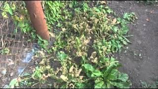 Какие сидераты сеять летом, например, когда освобождаются площади?