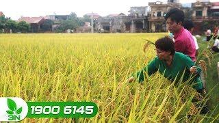Nông nghiệp | Giống lúa thuần NA6 cho năng suất cao, chất lượng gạo tốt