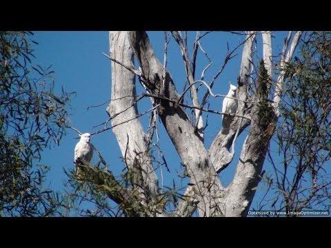 birdwatching in australia - il cacatua galerita