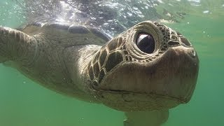 Robot Spy Turtle meets dolphins. Extraordinary filming!