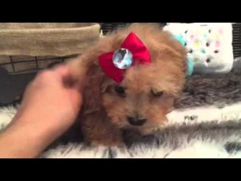 LOVABLE MALTI POO BABY GIRL