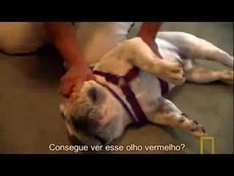 bad english bulldog!