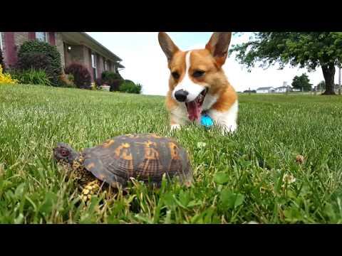 柯基看著誤以為是石頭的烏龜突然動起來,反應超搞笑XD!