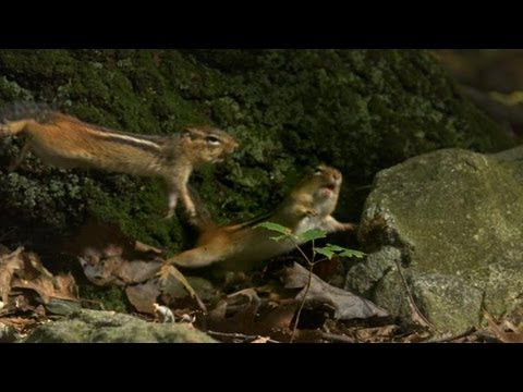 Nuts - A chipmunk gathers nuts, but he needs to keep an eye out for pickpockets. | Watch NORTH AMERICA Sundays 9|8c on Discovery. | http://dsc.discovery.com/tv-show...