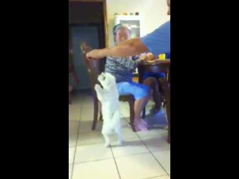 Maltese Nana does the pirouette