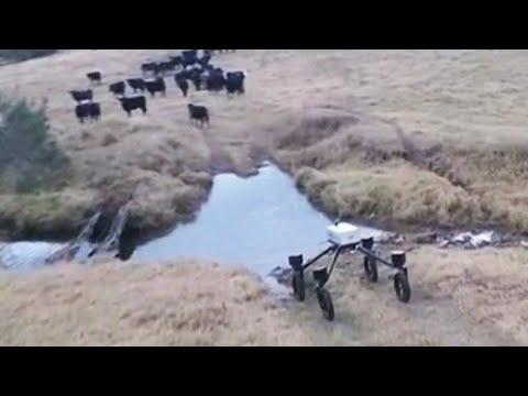 Landwirtschaft in Australien: Hier hütet bald der Rinderroboter