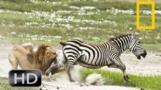Discovery Channel Animals Documentaries   Zebra Documentary   Nature Documentary 2016 Animal Planet