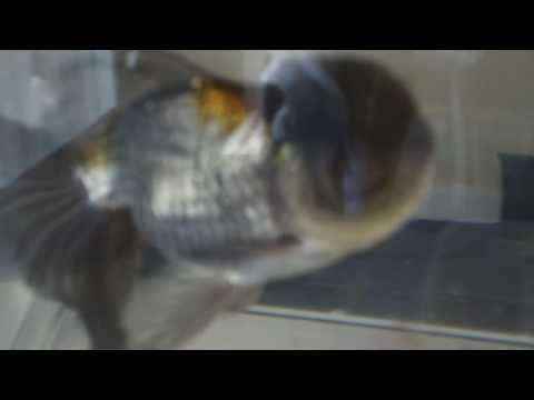 病気完治青文魚