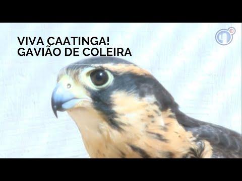 Viva Caatinga! Gavião de Coleira