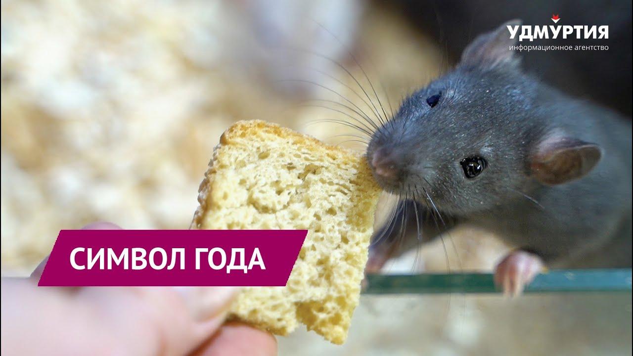 Символ года 2020 — металлическая крыса в зоопарке Удмуртии