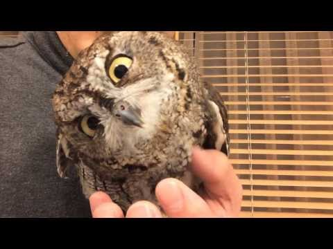 owl - Screech Owl being confused about iPhone screen....