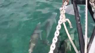 A pod of dolphins playing at the bow of the boat!