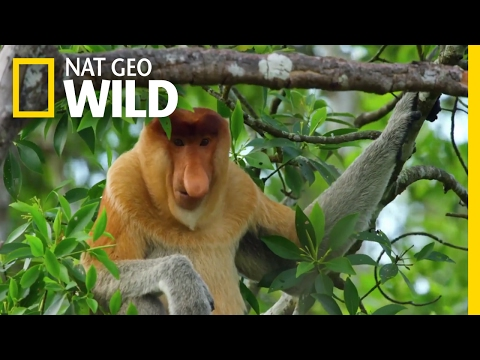 Video Proboscis Monkeys Jump Around   Paradise Islands download in MP3, 3GP, MP4, WEBM, AVI, FLV January 2017