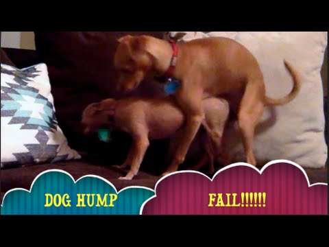 Why Is My Dog Horny? | Neutered Dog Mating With Female Dog In Heat?