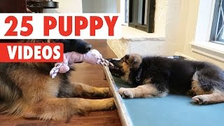 Nonton 25 Cute Puppy Videos Compilation 2017 Film Subtitle Indonesia Streaming Movie Download