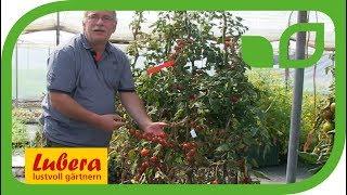 Phytophthora resistente Tomaten am Beispiel von Philovita