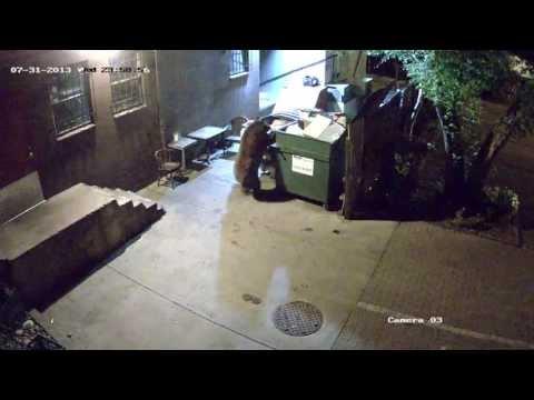 Bear Steals Entire DUMPSTER [WATCH]