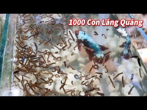 NTN Khi Cá Beta vs 1000 con Lăng Quăng? - Thời lượng: 20:45.