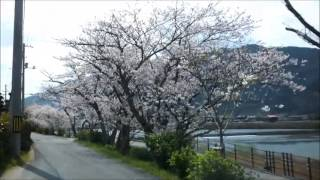 Hagi Japan  city photos gallery : Sakura Road in Hagi city Yamaguchi-ken Japan